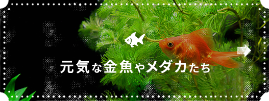 元気な金魚やメダカたち